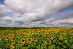 Het trillende panorama van het zonnebloemgebied met grote witte wolken in de zomer Stock Afbeeldingen