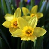 Het Trio van de gele narcisbloem royalty-vrije stock afbeeldingen