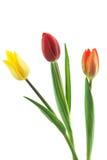 Het Trio van tulpen Royalty-vrije Stock Afbeeldingen