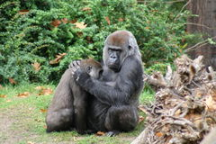 Het troosten van de aap Stock Afbeelding
