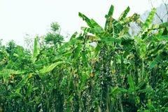 het tropische de boom van de installatiebanaan groeien op achtergrond van de de wildernisaard van het banaangebied de groene royalty-vrije stock afbeeldingen