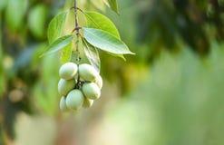 Het tropische fruit van de pruimmango op boom in de zomer stock afbeeldingen