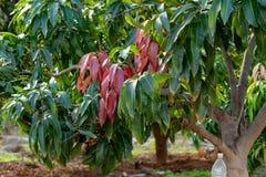 Het tropische mangoboom groeien in boomgaard op Gran Canaria-eiland, Spanje Cultuur van mangovruchten op aanplanting stock afbeeldingen