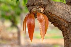 Het tropische mangoboom groeien in boomgaard op Gran Canaria-eiland, Spanje Cultuur van mangovruchten op aanplanting stock fotografie