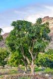 Het tropische mangoboom groeien in boomgaard op Gran Canaria-eiland, Spanje Cultuur van mangovruchten op aanplanting royalty-vrije stock afbeeldingen