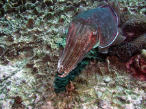Het tropische Overzeese Leven royalty-vrije stock fotografie