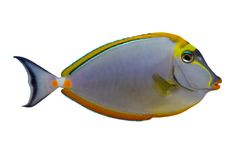 Het tropische Zweempje van Naso van Vissen isolat royalty-vrije stock foto's