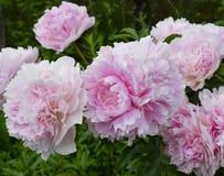 Het tuinieren bladschoonheid het bloeien pioenen purpere rode nam bloemen van de de struiklente van de rododendronbloei van de de Stock Afbeeldingen