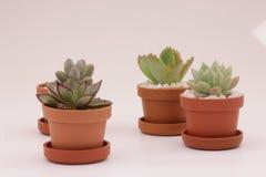 Het tuinieren cactus en succulents Stock Afbeelding
