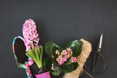 Het tuinieren de lenteconcept met roze calanchoe en hyacint en hulpmiddelen op zwarte raad De ruimte van het exemplaar Hoogste me Royalty-vrije Stock Fotografie