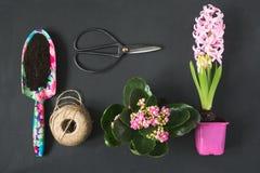 Het tuinieren de lenteconcept met roze calanchoe en hyacint en hulpmiddelen op zwarte raad Vlak leg Royalty-vrije Stock Foto's