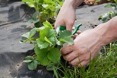 Het tuinieren De menselijke handen van ` s met bladeren van de schaar de scherpe aardbei royalty-vrije stock foto