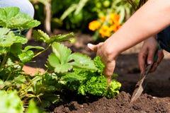 Het tuinieren in de zomer - vrouw die aardbeien plant Stock Foto's