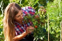 Het tuinieren in de zomer - vrouw het oogsten tomaten stock fotografie