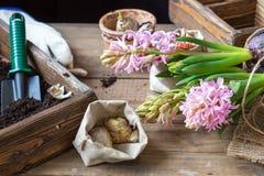 Het tuinieren en het planten van concept Vrouwenhanden die hyacint planten royalty-vrije stock afbeelding