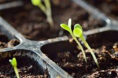 Het tuinieren. Jonge spruiten die aan zonlicht draaien Royalty-vrije Stock Afbeelding