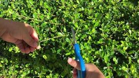 Het tuinieren, scherende struiken, de installaties van babyscharen stock footage