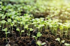 Het tuinkinderdagverblijf groepeert klein spruitenjong boompje van Chinese boerenkool royalty-vrije stock afbeelding