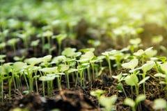 Het tuinkinderdagverblijf groepeert klein spruitenjong boompje van Chinese boerenkool royalty-vrije stock fotografie