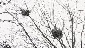 Het twee raaftakje nestelt bij de bovenkant van de esdoornboom in de vroege lente bij daglicht Telephotomening van onderaan stock footage