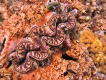 Het Tweekleppige schelpdier van Tridacna royalty-vrije stock afbeelding