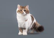 Het tweekleurige katje van het harlekijn Schotse hoogland met wit op grijze bedelaars royalty-vrije stock foto's