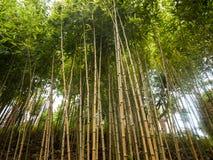 Het type van bamboegras culeou lange groene spruiten van Chusquea royalty-vrije stock foto
