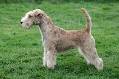 Het typische Lake District Terrier op een groen grasgazon Royalty-vrije Stock Fotografie