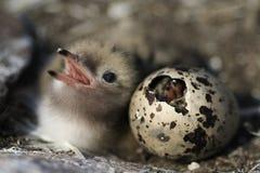 Het uitbroeden enkel babyvogel. Royalty-vrije Stock Fotografie