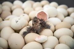 Het uitbroeden van de kip van ei stock foto's
