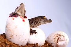 Het Uitbroeden van de krokodil royalty-vrije stock afbeelding