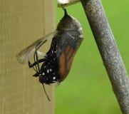 Het Uitbroeden van de Vlinder van de monarch Stock Afbeelding