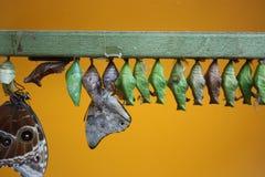Het uitbroeden van Vlinders Royalty-vrije Stock Afbeeldingen