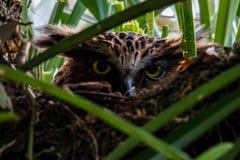 Het uitbroedende ei van Buffy Fish Owl in het nest Royalty-vrije Stock Afbeeldingen