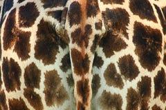 Het Uiteinde van de giraf royalty-vrije stock afbeeldingen
