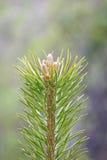 Het uiteinde van de pijnboom Royalty-vrije Stock Fotografie