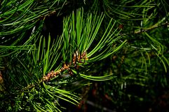 Het uiteinde van tak van de Pijnboompinus Bungeana van naaldboombunge ` s riep lacebark ook pijnboom of wit-ontschorste pijnboom  Royalty-vrije Stock Foto