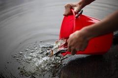 Het uitgieten van kleine vissen van een emmer stock foto