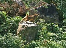 Het uitrekken van de lynx zich op een rots Royalty-vrije Stock Foto