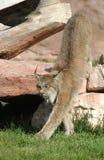 Het uitrekken zich van de lynx. Stock Foto