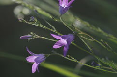 Het uitspreiden bellflower Klokjepatula Royalty-vrije Stock Foto's