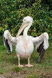 Het uitspreiden van de pelikaan vleugels Stock Afbeelding