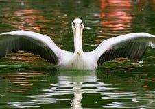 Het uitspreiden van de pelikaan vleugels Royalty-vrije Stock Fotografie