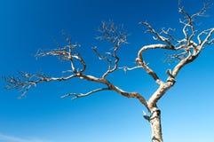 Het uitspreiden van een oude droge boom Stock Foto's