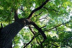 Het uitspreiden van kroon van een oude eiken boom Royalty-vrije Stock Foto