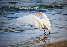 Het uitspreiden vleugels witte vogel die in het overzees vissen Royalty-vrije Stock Foto's