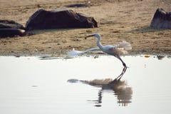 Het uitspreiden vleugels witte vogel die in het overzees vissen Royalty-vrije Stock Afbeelding