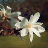Het uitstekende effect van de magnoliabloem Mooie romige bloesem retro foto Royalty-vrije Stock Afbeelding
