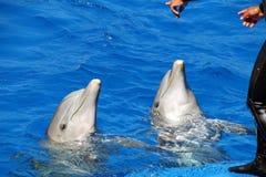 Het uitvoeren van Dolfijn stock afbeeldingen