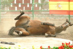 Het uitvoeren van Spaans paard Royalty-vrije Stock Afbeeldingen
